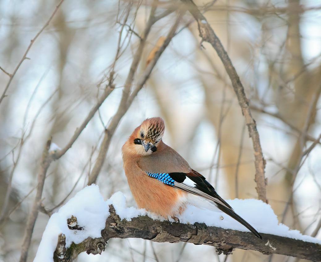 Фото птицы сойки для детей