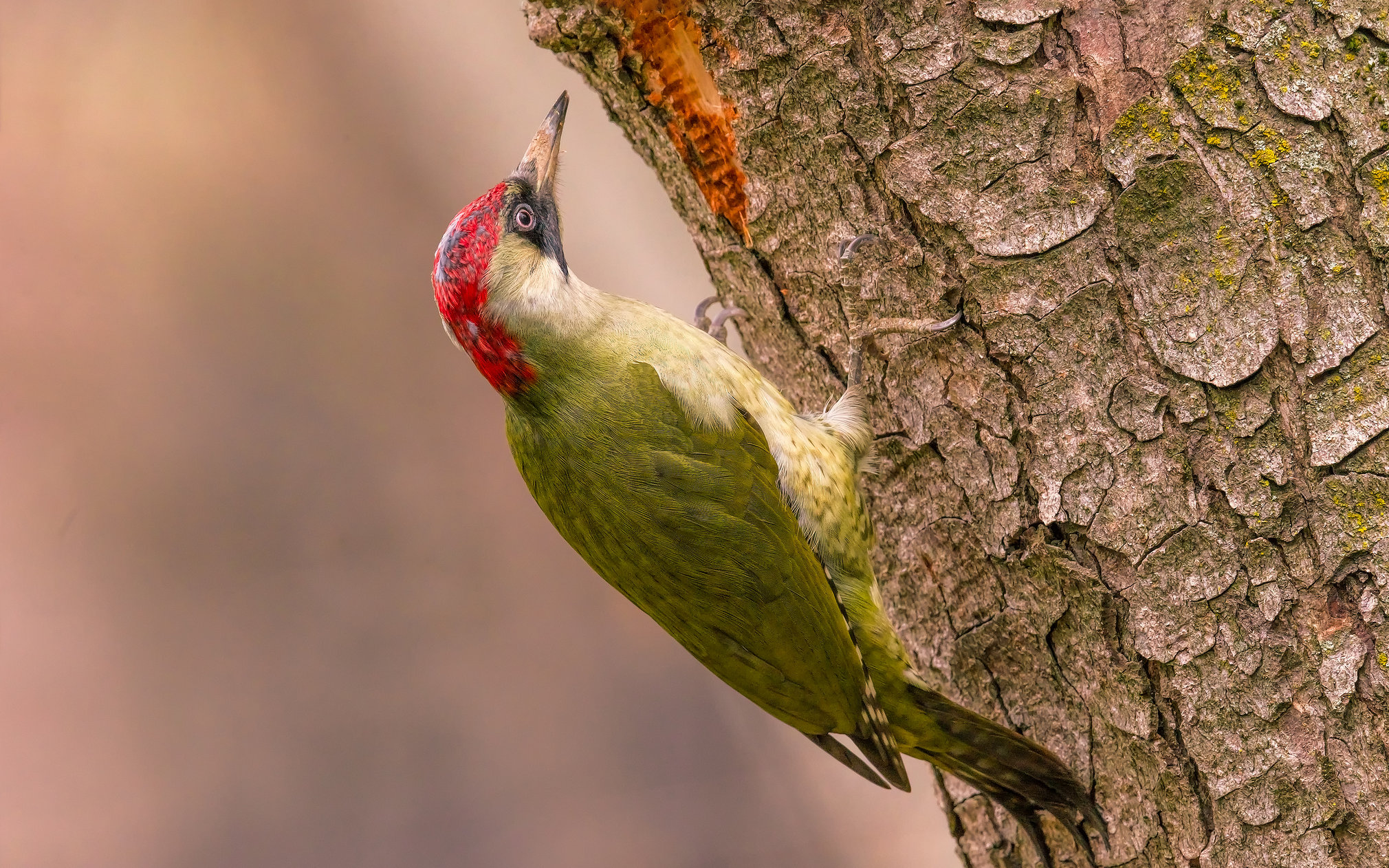 Фото-Тула. Александр Плеханов. Green woodpecker